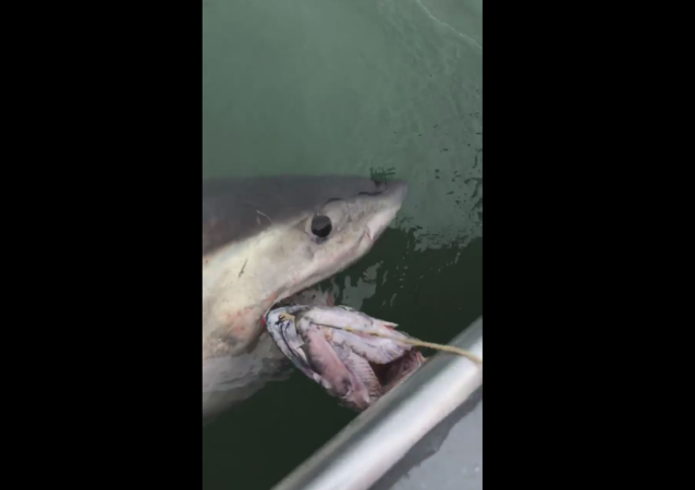 US fishermen traversing waters near California's Alcatraz Island hook great white shark